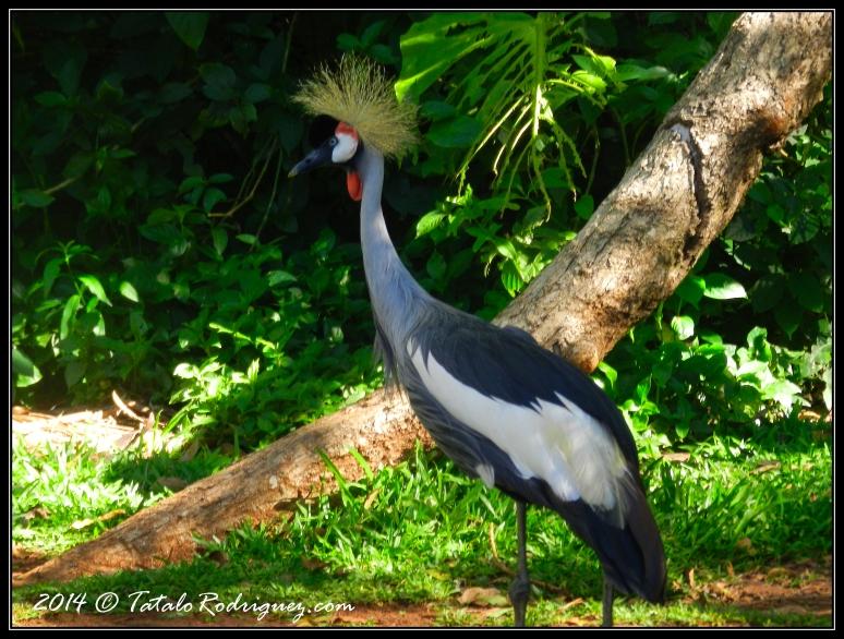 Grulla Coronada Negra